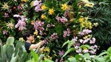 Служител в Кю Гардънс позира до цветя преди откриването на 25-ия Фестивал на орхидеите в Лондон. Над 5000 вида орхидеи участват в проявата, която продължава до 8 март.