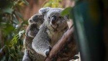 Седеммесечна коала с майка си в Лисабонския зоопарк, Португалия.