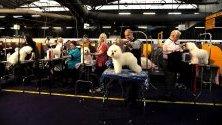 Кучета порода бишон фризе се подготвят за надпреварата 2020 Westminster Kennel Club Dog Show в Ню Йорк.