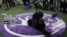 Пуделът Сиба спечелва голямата награда на 2020 Westminster Kennel Club Dog Show в Мадисън Скуеър Гардън в Ню Йорк.