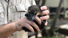 Бебе птицечовка, наречено Джара, спасено от рейнджъри от горските пожари край Брисбейн, Австралия.