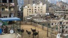 Щрауси живеят на покрива на сграда в Кайро, Египет.
