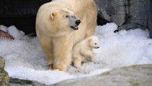 Малко полярно мече се показва за първи път на публиката в зоопарка в Копенхаген, Германия.