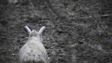 Млад носорог на име Ролф се разхожда из зоопарка в Арнхем, Холандия. За първи път носорогчето среща други представители на своя вид в зоопарка.